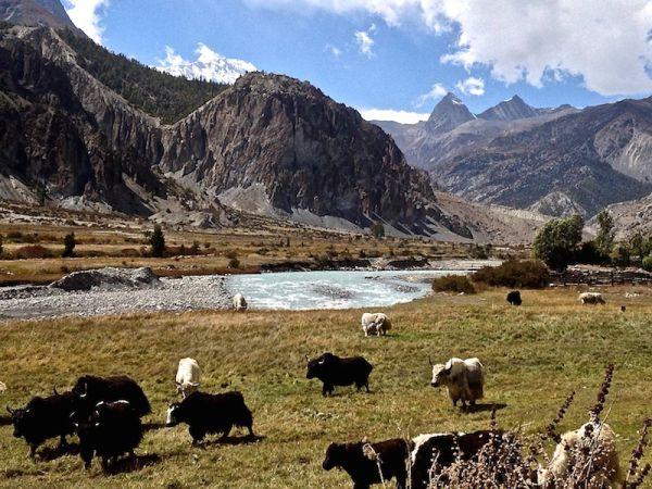 Des yaks paissent dans la région de Manang à 3550 mètres