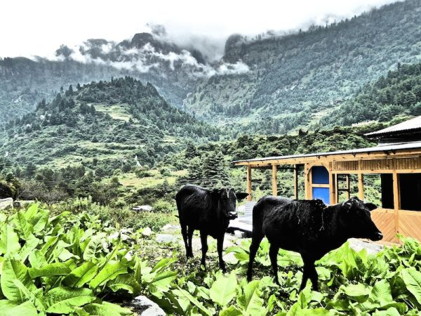 deux vaches font leur promenade dans les Himalayas