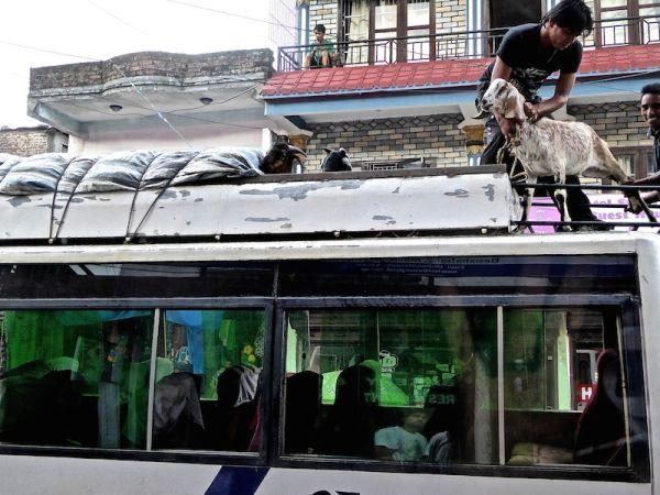 Des chèvres sur un bus au Népal pendant le festival de Dashain