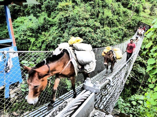Ânes traversent un pont suspendu dans les himalayas