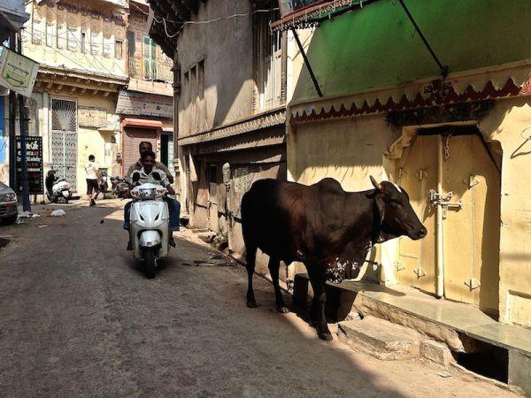 Vache sacrée dans une rue de Katmandou
