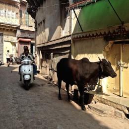Une vache se promène dans la rue au népal